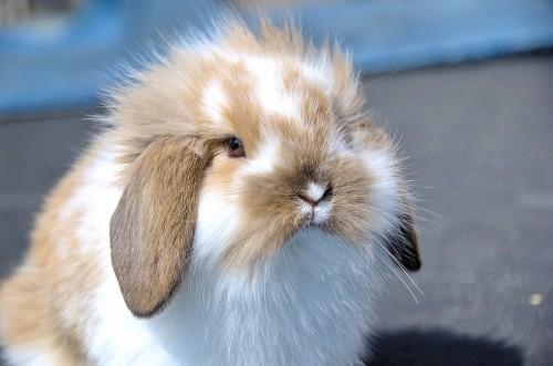 Comment élever un lapin nain bélier - Blog