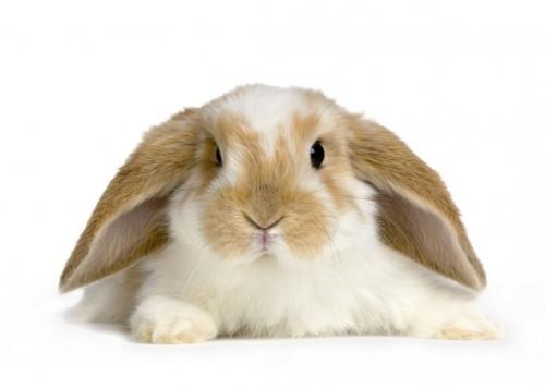comment élever un lapin en appartement