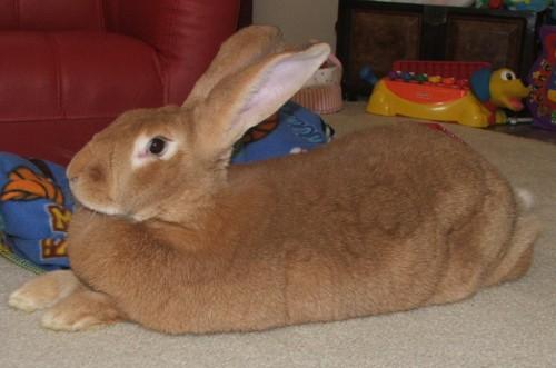 comment élever un lapin géant des flandres