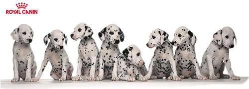 Royal Canin junior dosage des croquettes