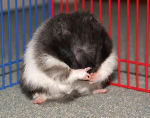 toilette hamster