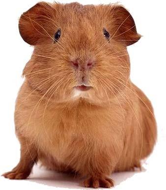 cochon d'inde guinea pig