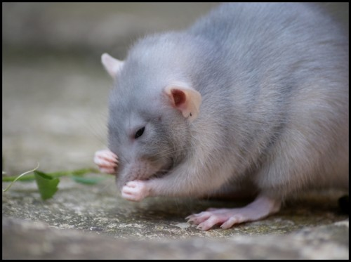 toilette rat