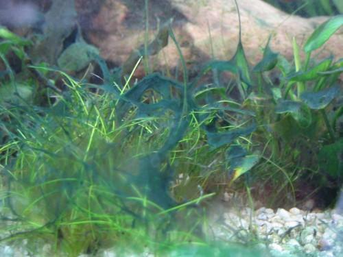 aquarium eau douce algues