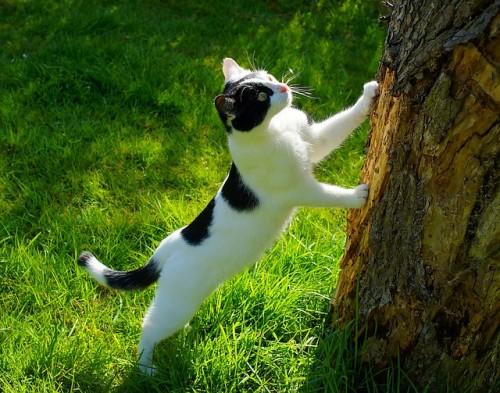 Chat qui griffe arbre pour marquer son passage