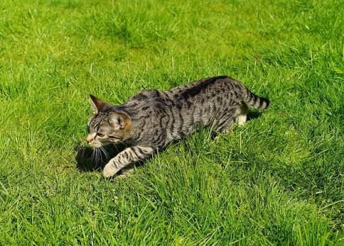 Chat qui chasse