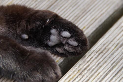 Coussinet du chat