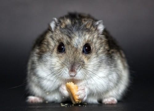 Que mange le hamster ?