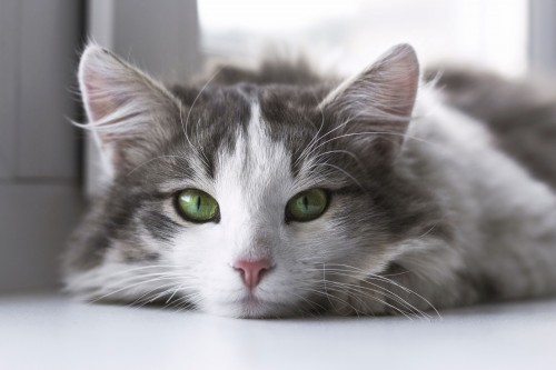 Zoom sur les phéromones du chat, quel Feliway est fait pour lui ?