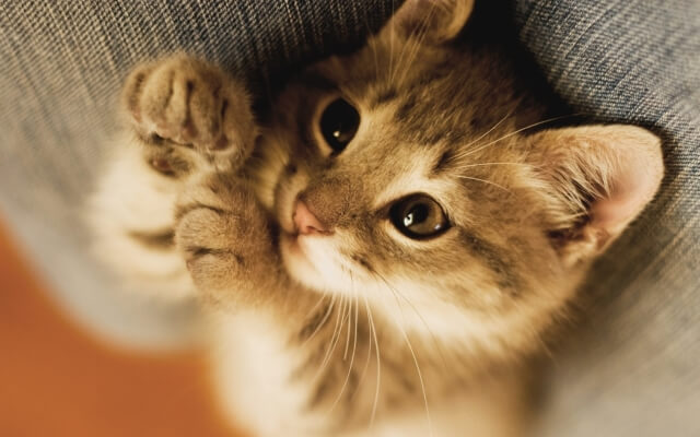 Comment bien adopter un chaton ?
