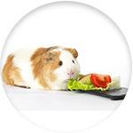 cochon d'inde nourriture