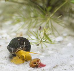 escargot aquarium
