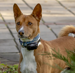 Collier de dressage pour chien