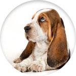 grande oreilles chiens