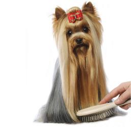 chien poil brosse