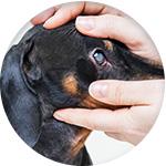 chien yeux