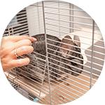 Chinchilla dans sa cage