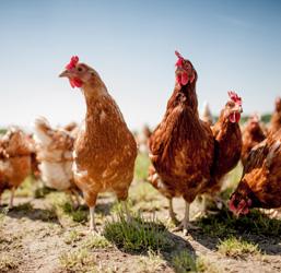 Elevage de poules