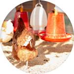 Abreuvoir poule