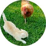 poule et chat