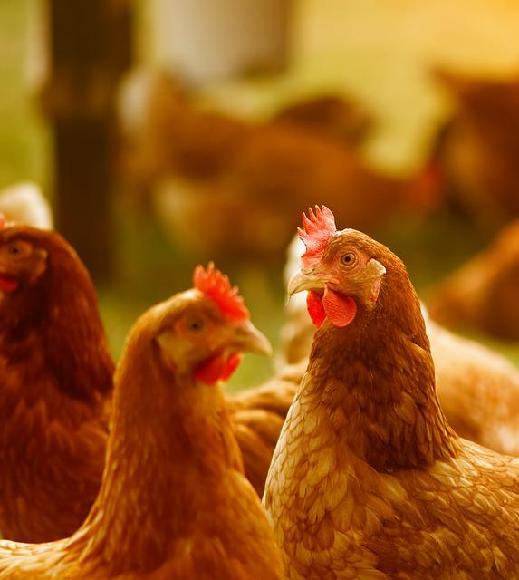 enclos-poules