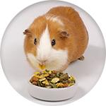 Alimentation pour cochon d'inde
