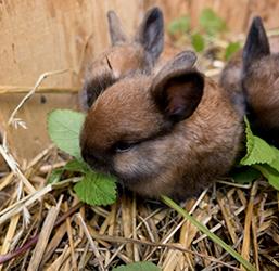Litière paille pour lapin