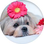 Parfum pour chien fleurs