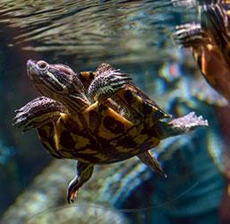 Tortue dans son aquaterrarium