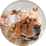 Shampoing chien anti-pelliculaire