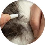 Utilisation d'une pipette anti parasitaire sur un chien
