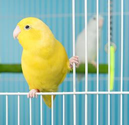 Perruches dans une cage
