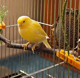 Canaris dans une cage