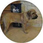brit chien