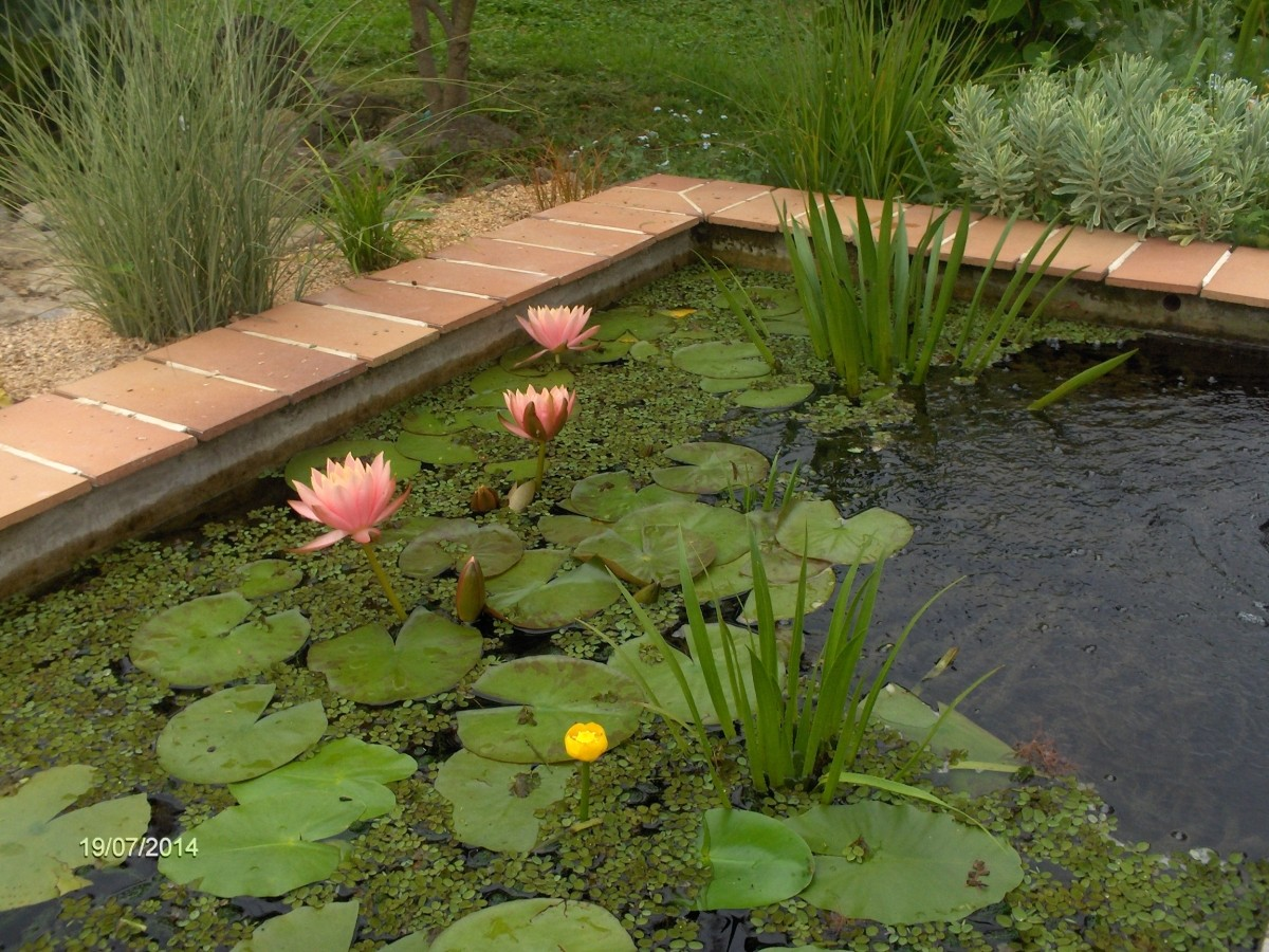 Nenuphars pour bassin for Etancheite pour bassin