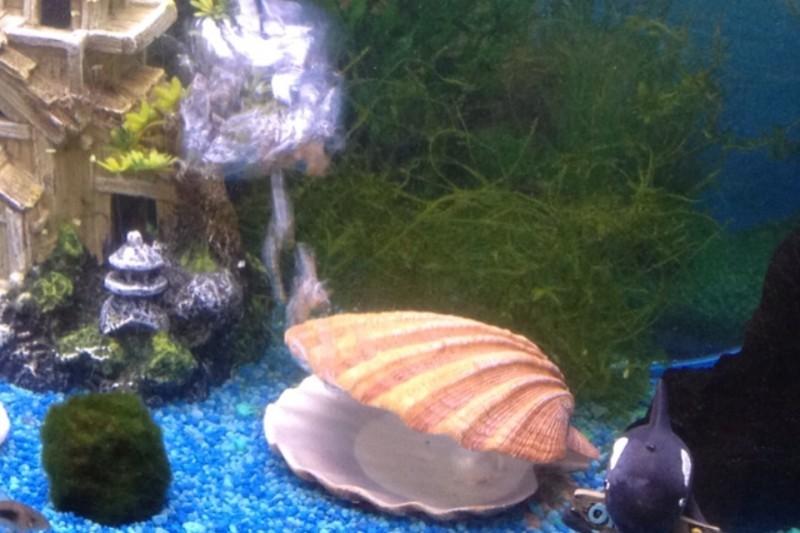 déco aquarium coquillage
