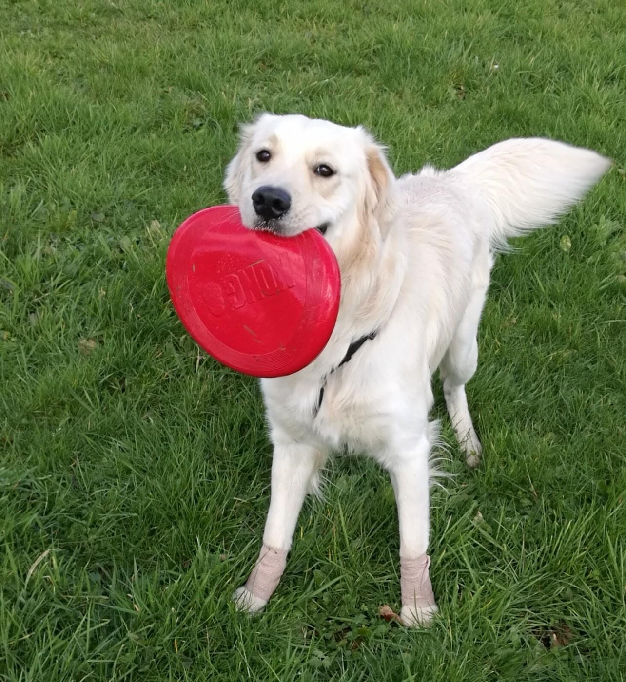KONG chien Classic Flyer 2 tailles - frisbee souple et