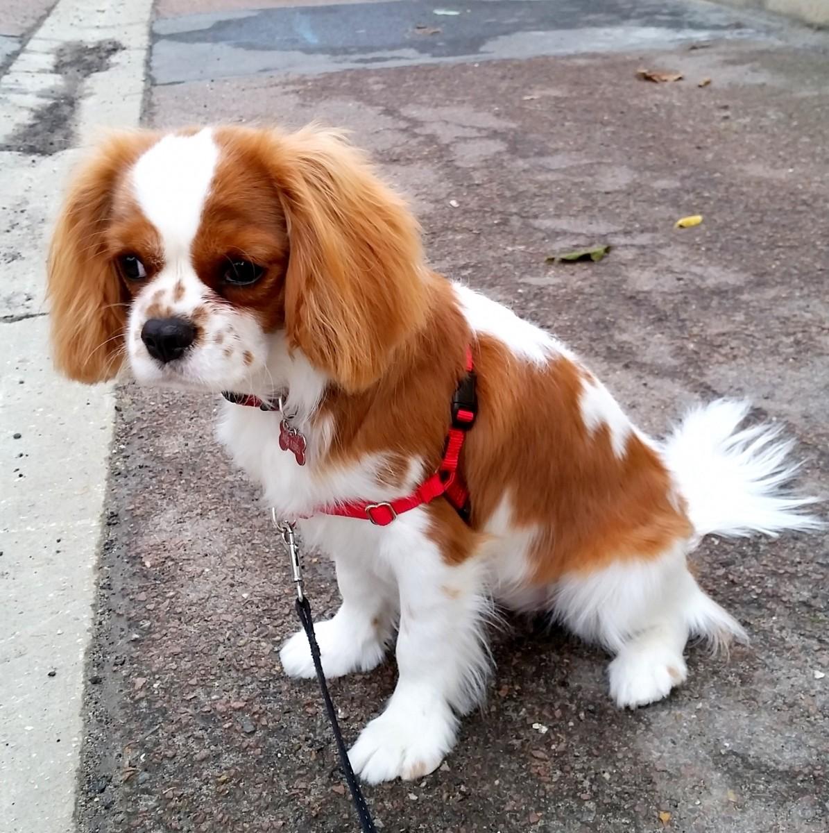 Avis sur harnais easywalk chien - Fabriquer un harnais pour chien ...
