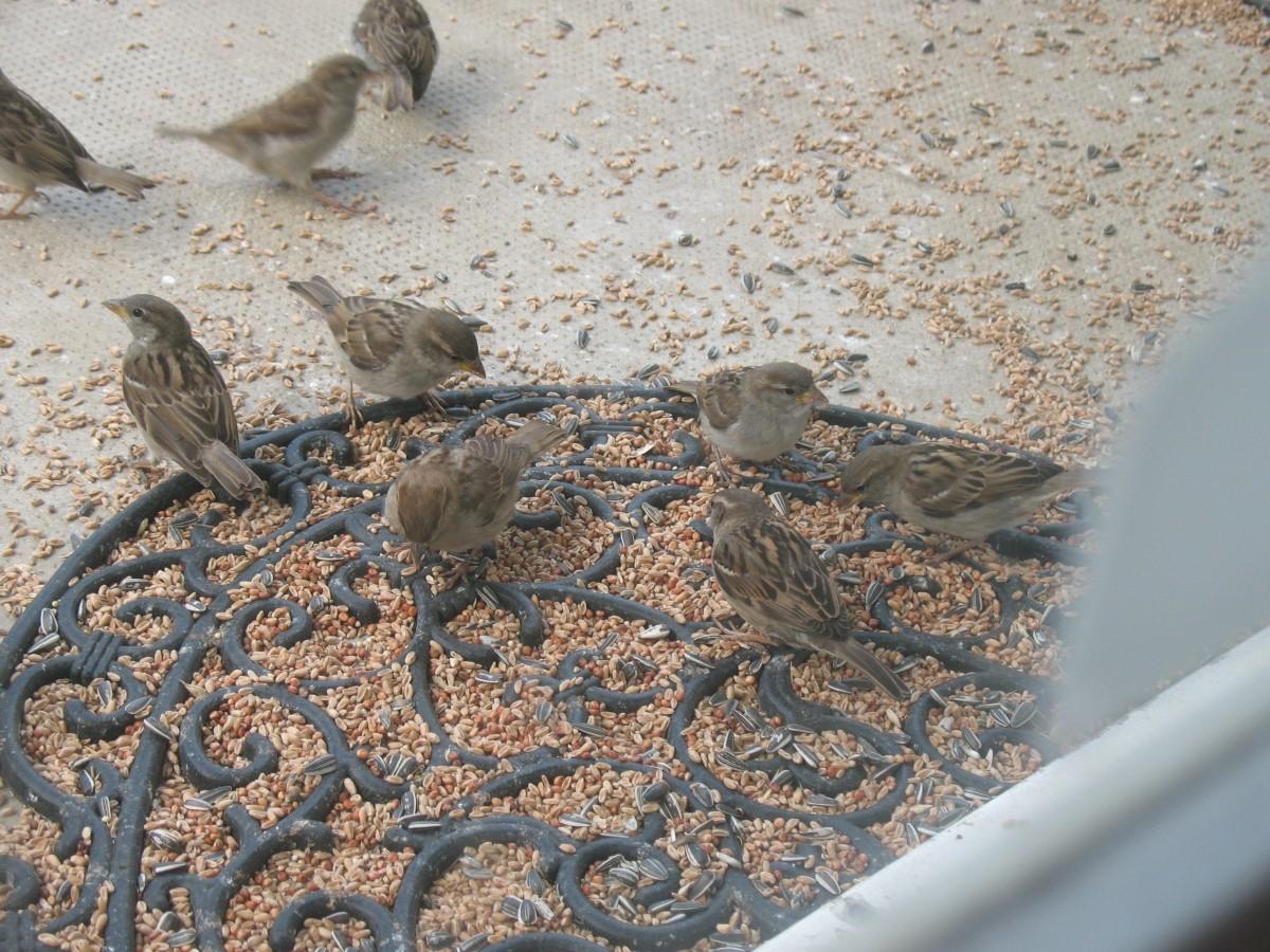 M lange essentiel pour oiseaux du ciel nourriture oiseaux for Oiseaux du ciel