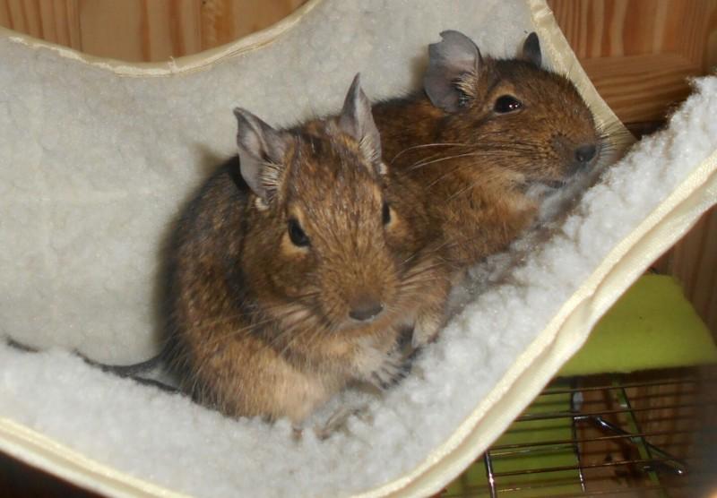 hamac pour hamsters souris rats et rongeurs couchage pour rongeur. Black Bedroom Furniture Sets. Home Design Ideas